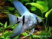 Скалярия голубой aлмаз